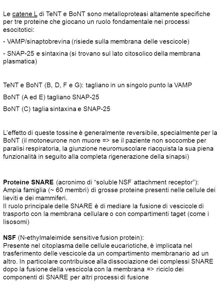 Le catene L di TeNT e BoNT sono metalloproteasi altamente specifiche per tre proteine che giocano un ruolo fondamentale nei processi esocitotici: - VAMP/sinaptobrevina (risiede sulla membrana delle vescicole) - SNAP-25 e sintaxina (si trovano sul lato citosolico della membrana plasmatica) TeNT e BoNT (B, D, F e G): tagliano in un singolo punto la VAMP BoNT (A ed E) tagliano SNAP-25 BoNT (C) taglia sintaxina e SNAP-25 L'effetto di queste tossine è generalmente reversibile, specialmente per la BoNT (il motoneurone non muore => se il paziente non soccombe per paralisi respiratoria, la giunzione neuromuscolare riacquista la sua piena funzionalità in seguito alla completa rigenerazione della sinapsi) Proteine SNARE (acronimo di soluble NSF attachment receptor ): Ampia famiglia (~ 60 membri) di grosse proteine presenti nelle cellule dei lieviti e dei mammiferi.