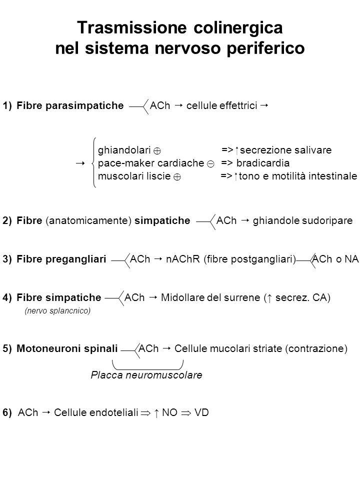 Trasmissione colinergica nel sistema nervoso periferico 1)Fibre parasimpatiche ACh  cellule effettrici  2)Fibre (anatomicamente) simpatiche ACh  ghiandole sudoripare 3)Fibre pregangliari ACh  nAChR (fibre postgangliari) ACh o NA 4)Fibre simpatiche ACh  Midollare del surrene (↑ secrez.