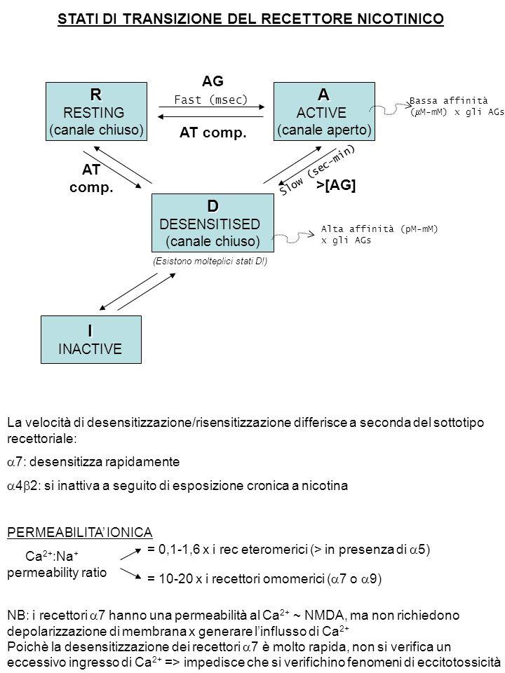 STATI DI TRANSIZIONE DEL RECETTORE NICOTINICO R RESTING (canale chiuso)A ACTIVE (canale aperto) D DESENSITISED (canale chiuso) I INACTIVE Fast (msec) AG AT comp.