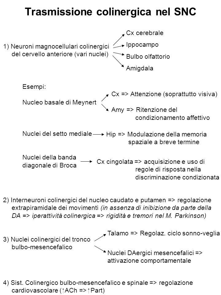 SNC, utero, polmone SNC