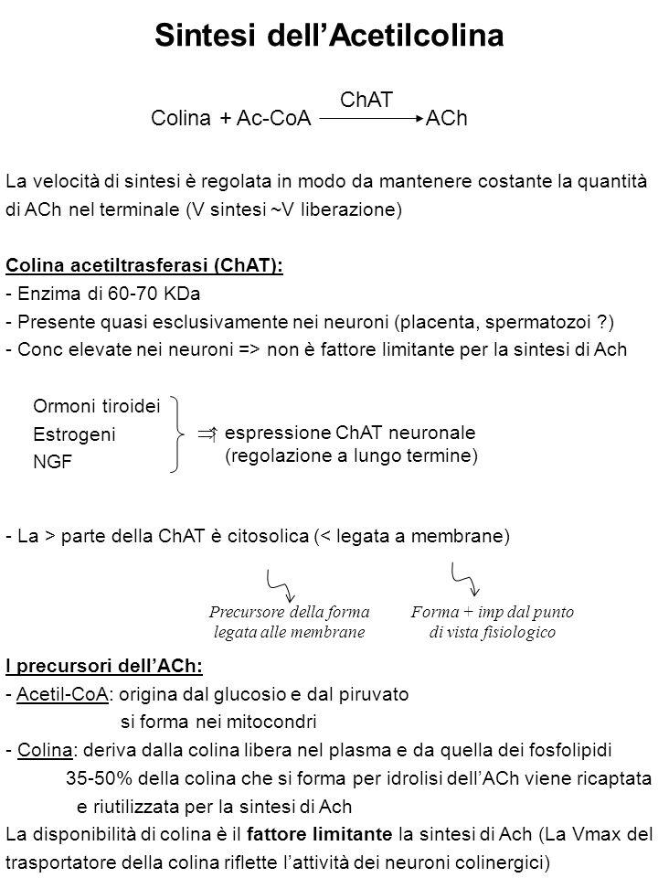 RECETTORI COLINERGICI RECETTORI NICOTINICI recettori-canale (specifici per i cationi) RECETTORI MUSCARINICI recettori accoppiati a prot G RECETTORI NICOTINICI (nAChR): Localizzazione: giunzione neuromuscolare (recettori muscolari N M ) gangli cellule cromaffini (recettori neuronali N N ) SNC GANGLIOPLEGICI: Bloccano la trasmissione gangliare (es: Trimetafano, usato x gravi crisi ipertensive e x indurre ipotensione controllata durante interventi chirurgici) CURARI: Bloccano la trasmissione a livello della giunz neuromuscolare COMPETITIVI Si legano al rec N M su un sito adiacente a quello di legame x l'ACh (es: d-tubocurarina) DEPOLARIZZANTI Attivano i rec N M => inizialmente: depolarizzazione della fibra muscolare (fascicolazioni) inizialmente.