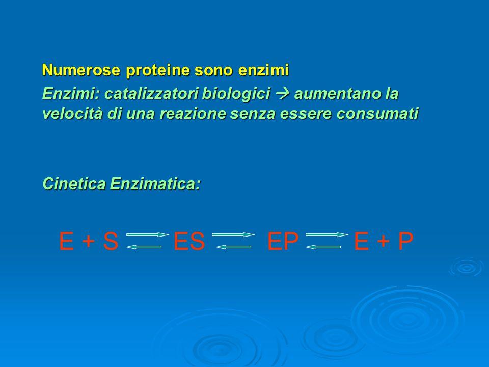 Numerose proteine sono enzimi Enzimi: catalizzatori biologici  aumentano la velocità di una reazione senza essere consumati Cinetica Enzimatica: E +