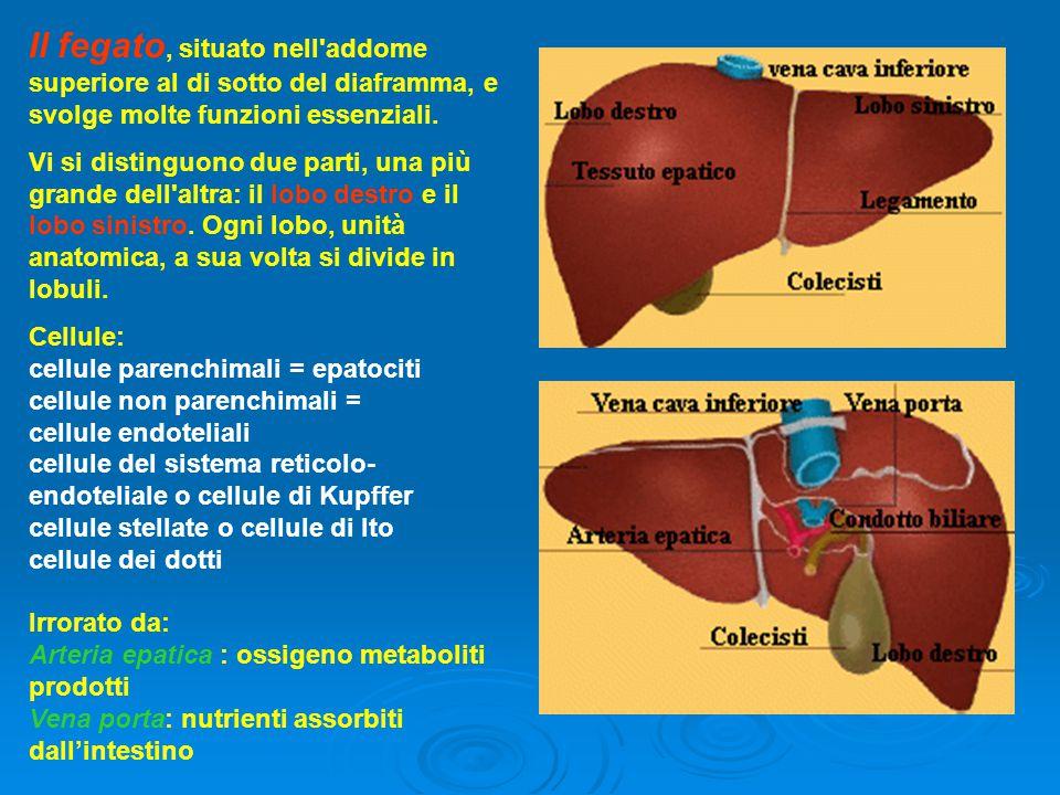 Il fegato, situato nell'addome superiore al di sotto del diaframma, e svolge molte funzioni essenziali. Vi si distinguono due parti, una più grande de
