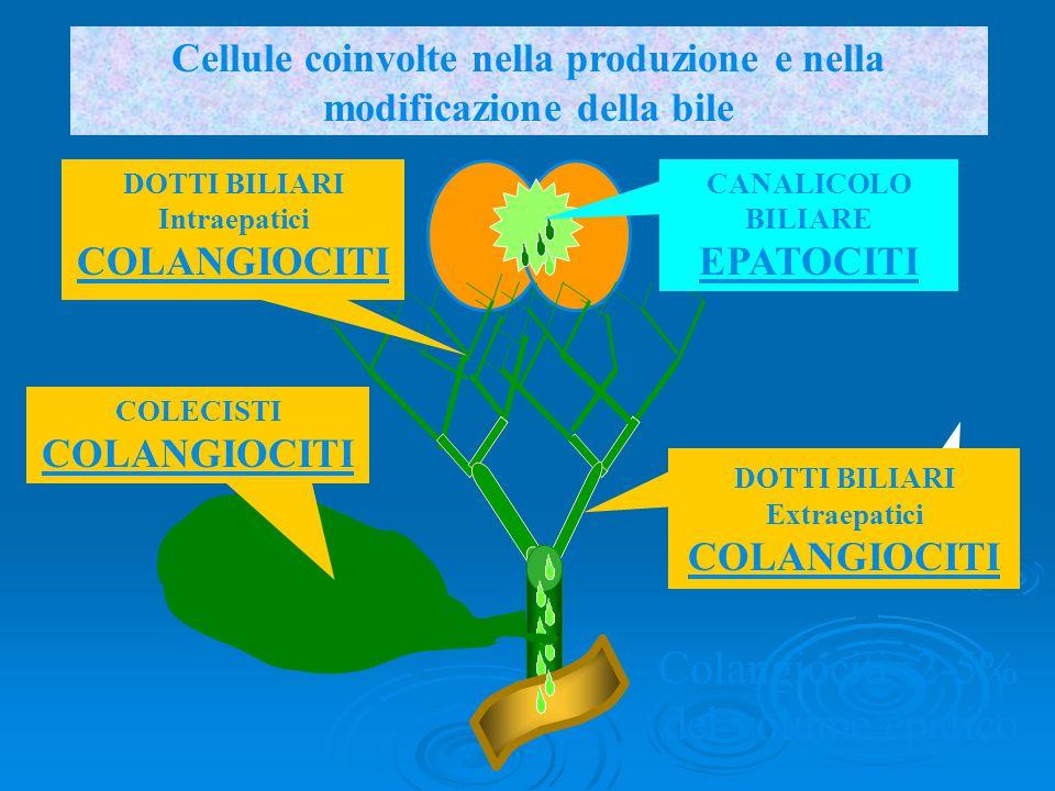 DOTTI BILIARI Intraepatici COLANGIOCITI DOTTI BILIARI Extraepatici COLANGIOCITI CANALICOLO BILIARE EPATOCITI Cellule coinvolte nella produzione e nell