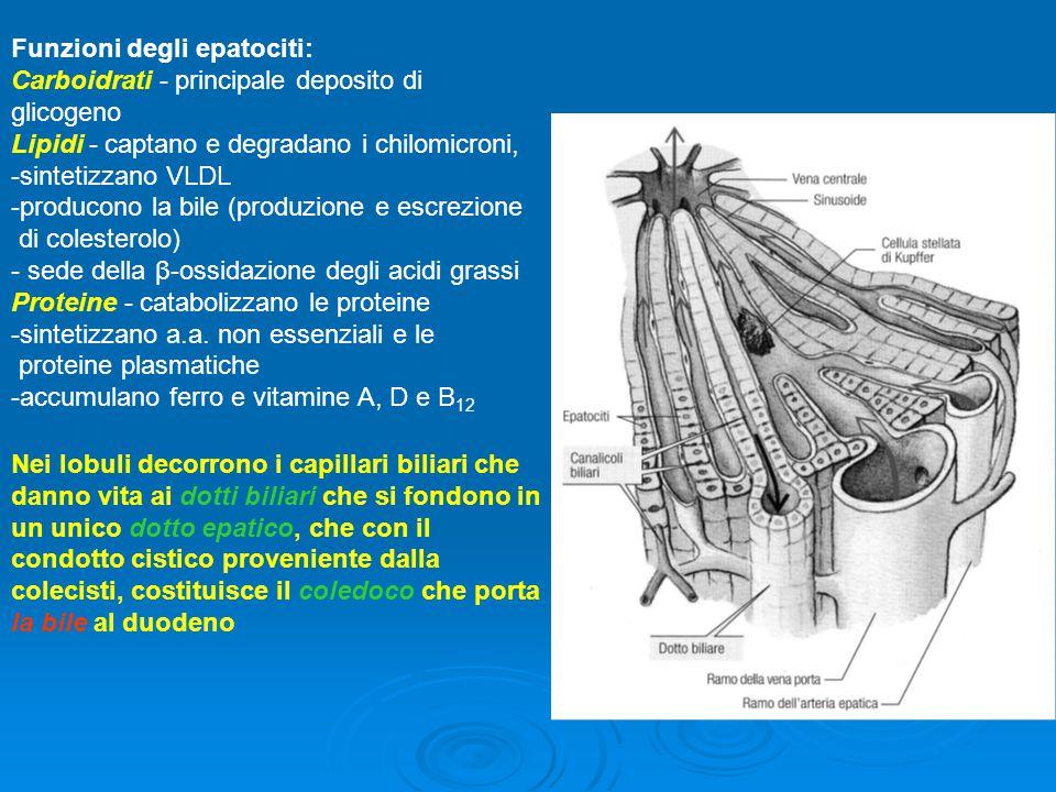 Funzioni degli epatociti: Carboidrati - principale deposito di glicogeno Lipidi - captano e degradano i chilomicroni, -sintetizzano VLDL -producono la