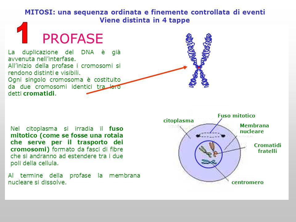 MITOSI: una sequenza ordinata e finemente controllata di eventi Viene distinta in 4 tappe PROFASE La duplicazione del DNA è già avvenuta nell'interfase.