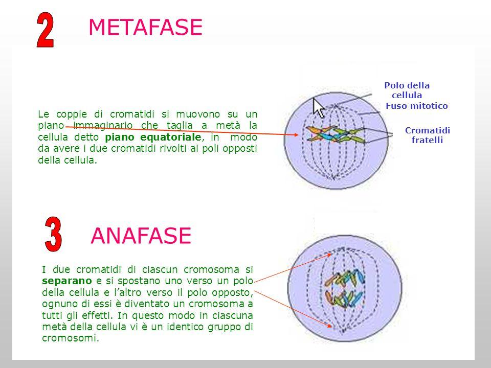 METAFASE ANAFASE I due cromatidi di ciascun cromosoma si separano e si spostano uno verso un polo della cellula e l'altro verso il polo opposto, ognuno di essi è diventato un cromosoma a tutti gli effetti.