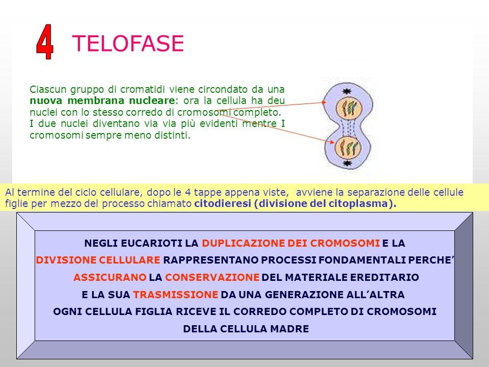 TELOFASE Al termine del ciclo cellulare, dopo le 4 tappe appena viste, avviene la separazione delle cellule figlie per mezzo del processo chiamato citodieresi (divisione del citoplasma).