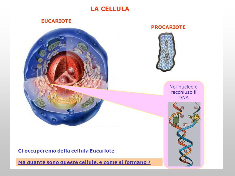 Il corpo di un essere umano adulto contiene un numero enorme di cellule: circa 60 milioni di milioni.