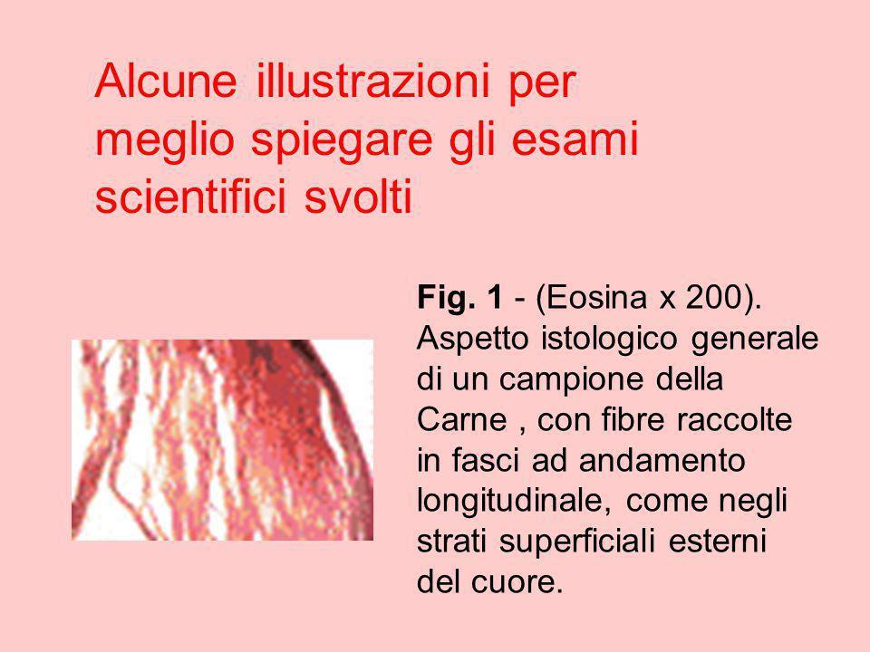 Alcune illustrazioni per meglio spiegare gli esami scientifici svolti Fig. 1 - (Eosina x 200). Aspetto istologico generale di un campione della Carne,