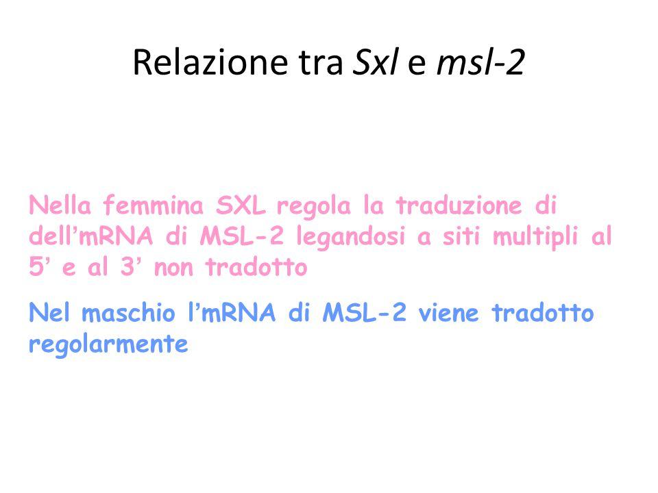 Nella femmina SXL regola la traduzione di dell ' mRNA di MSL-2 legandosi a siti multipli al 5 ' e al 3 ' non tradotto Nel maschio l ' mRNA di MSL-2 viene tradotto regolarmente Relazione tra Sxl e msl-2