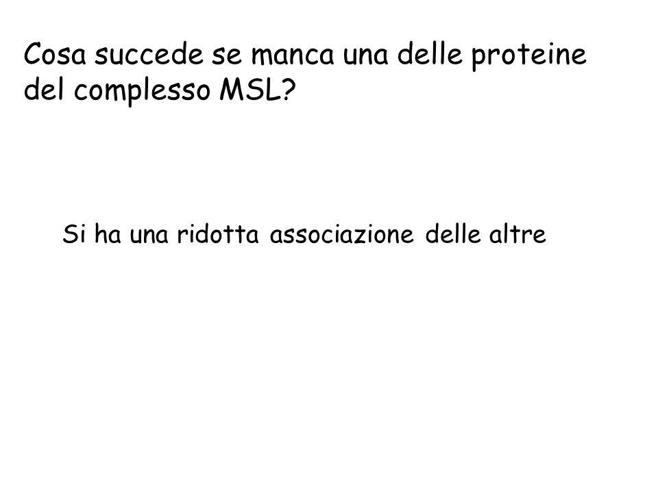 Cosa succede se manca una delle proteine del complesso MSL? Si ha una ridotta associazione delle altre