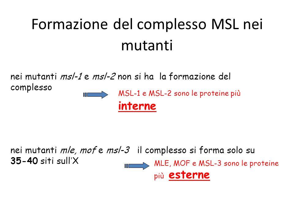 nei mutanti mle, mof e msl-3 il complesso si forma solo su 35-40 siti sull ' X nei mutanti msl-1 e msl-2 non si ha la formazione del complesso Formazi
