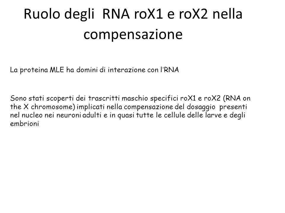 La proteina MLE ha domini di interazione con l ' RNA Sono stati scoperti dei trascritti maschio specifici roX1 e roX2 (RNA on the X chromosome) implicati nella compensazione del dosaggio presenti nel nucleo nei neuroni adulti e in quasi tutte le cellule delle larve e degli embrioni Ruolo degli RNA roX1 e roX2 nella compensazione