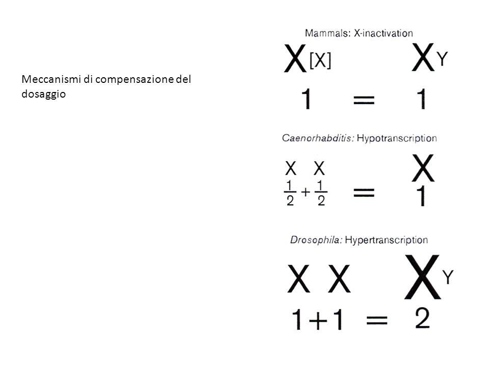 nei mutanti mle, mof e msl-3 il complesso si forma solo su 35-40 siti sull ' X nei mutanti msl-1 e msl-2 non si ha la formazione del complesso Formazione del complesso MSL nei mutanti MSL-1 e MSL-2 sono le proteine più interne MLE, MOF e MSL-3 sono le proteine più esterne