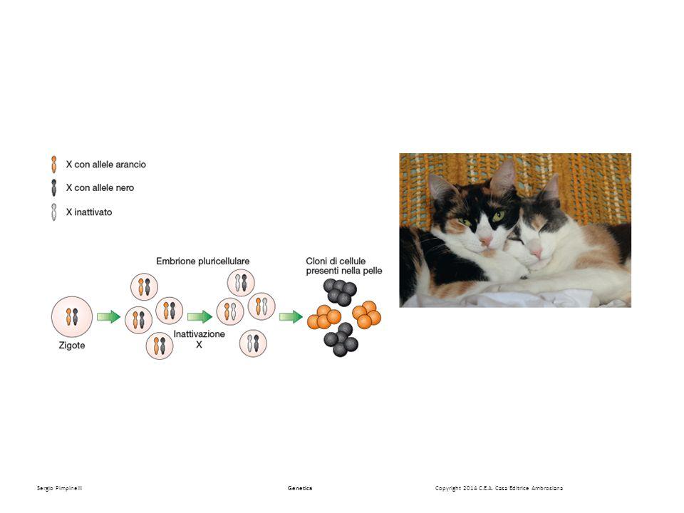 Muller 1931 Mutanti ipomorfi w a maschi(X wa /Y) e femmine (X wa / X wa ) hanno lo stesso livello di pigmento.