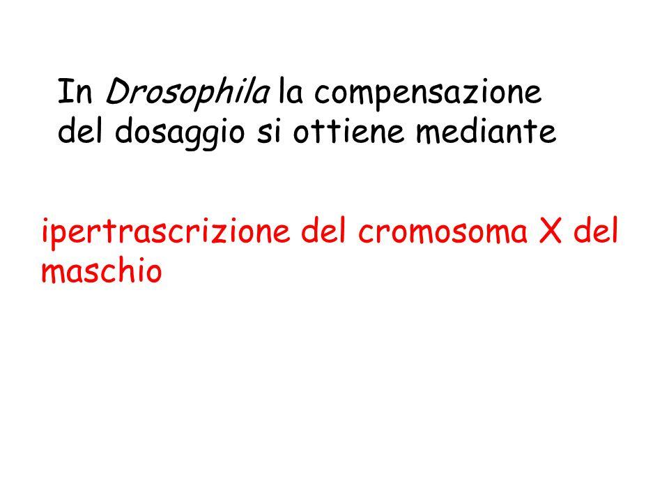 ipertrascrizione del cromosoma X del maschio In Drosophila la compensazione del dosaggio si ottiene mediante
