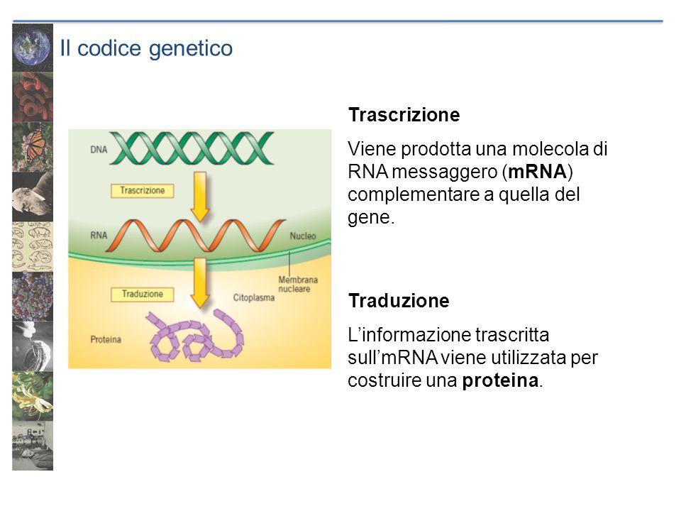 Il codice genetico Trascrizione Viene prodotta una molecola di RNA messaggero (mRNA) complementare a quella del gene. Traduzione L'informazione trascr