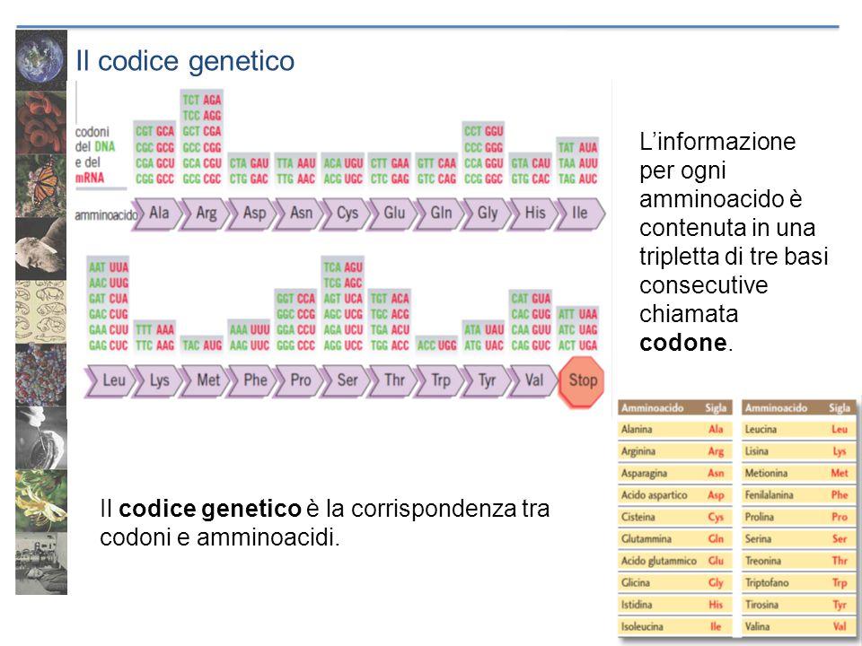 Il codice genetico Il codice genetico è: ridondante (o degenerato), a un amminoacido corrisponde più di un codone arbitrario, non è determinato da particolari leggi chimiche universale, ogni codone ha lo stesso significato in organismi viventi diversi