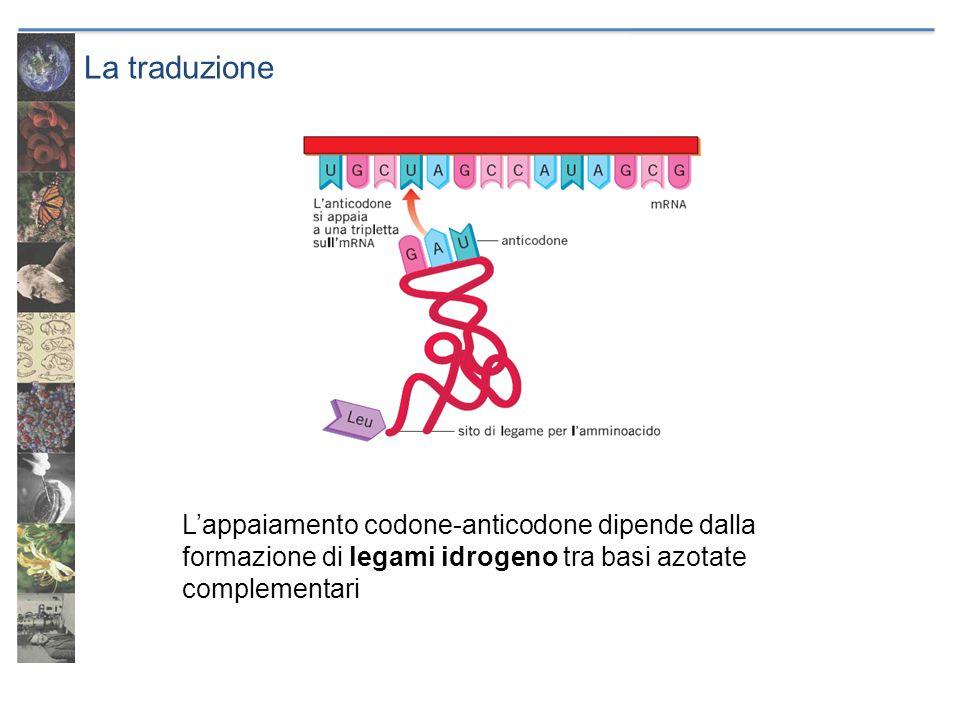 La traduzione L'appaiamento codone-anticodone dipende dalla formazione di legami idrogeno tra basi azotate complementari