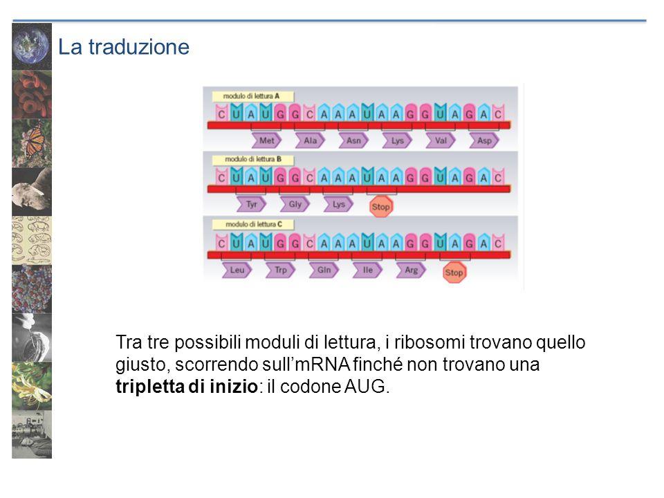 La traduzione Tra tre possibili moduli di lettura, i ribosomi trovano quello giusto, scorrendo sull'mRNA finché non trovano una tripletta di inizio: i