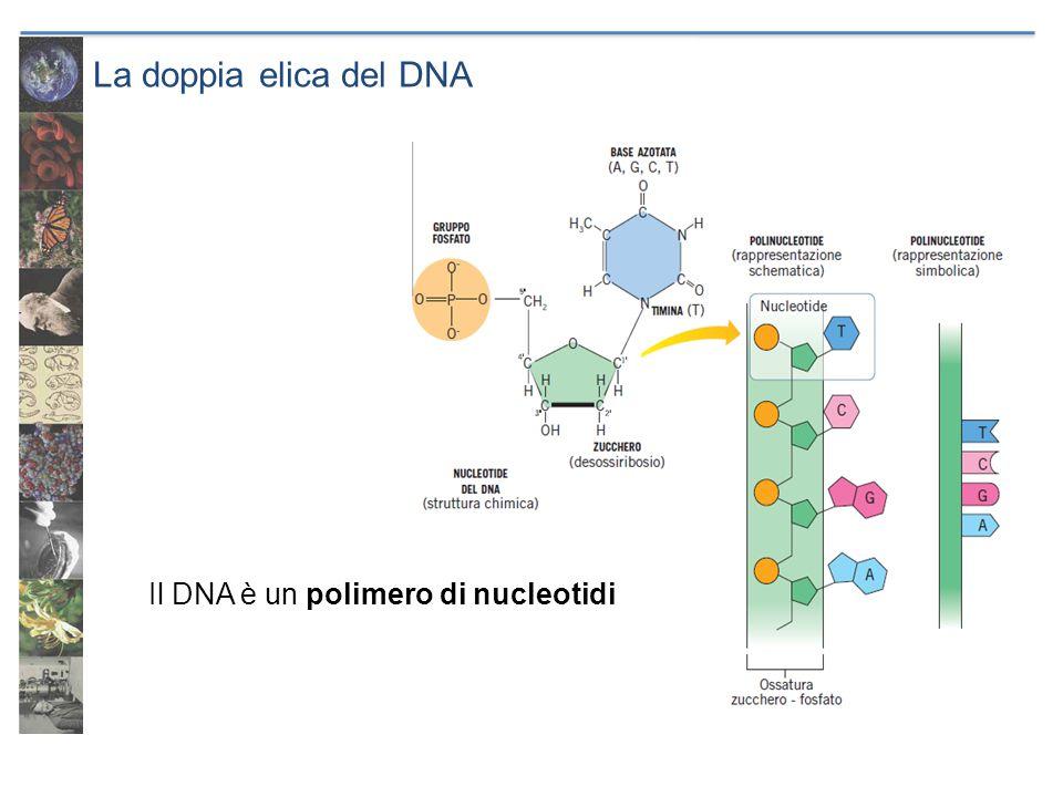 La doppia elica del DNA Una molecola di DNA è formata da due polinucleotidi antiparalleli tenuti insieme da appaiamenti complementari delle basi azotate