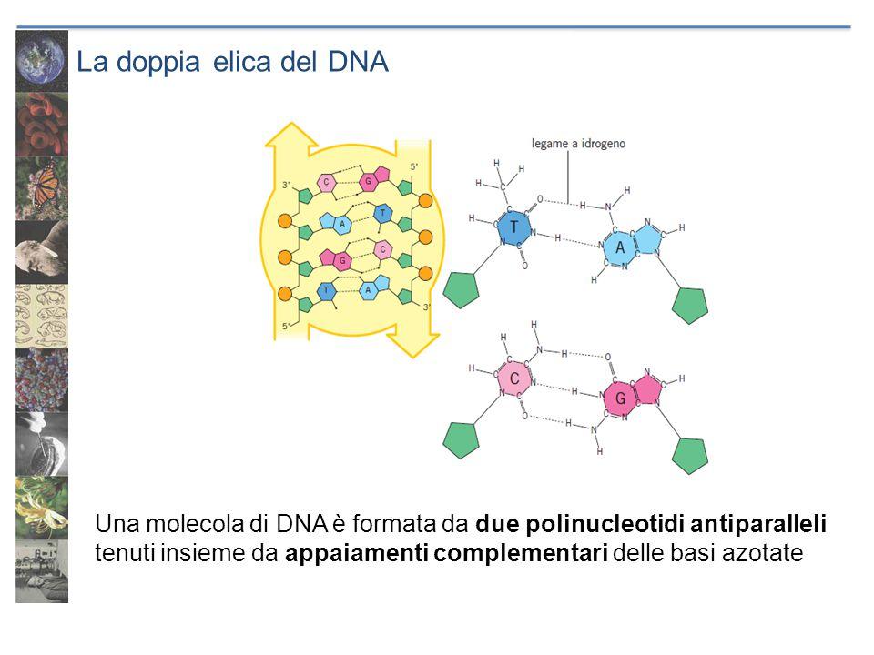 La doppia elica del DNA Una molecola di DNA è formata da due polinucleotidi antiparalleli tenuti insieme da appaiamenti complementari delle basi azota