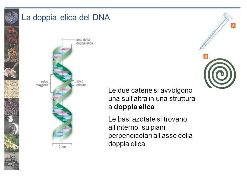 La doppia elica del DNA Le due catene si avvolgono una sull'altra in una struttura a doppia elica. Le basi azotate si trovano all'interno su piani per