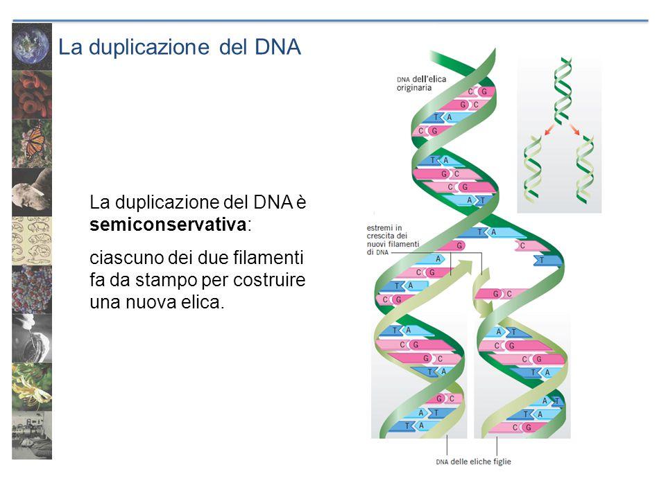 La duplicazione del DNA La duplicazione del DNA è semiconservativa: ciascuno dei due filamenti fa da stampo per costruire una nuova elica.
