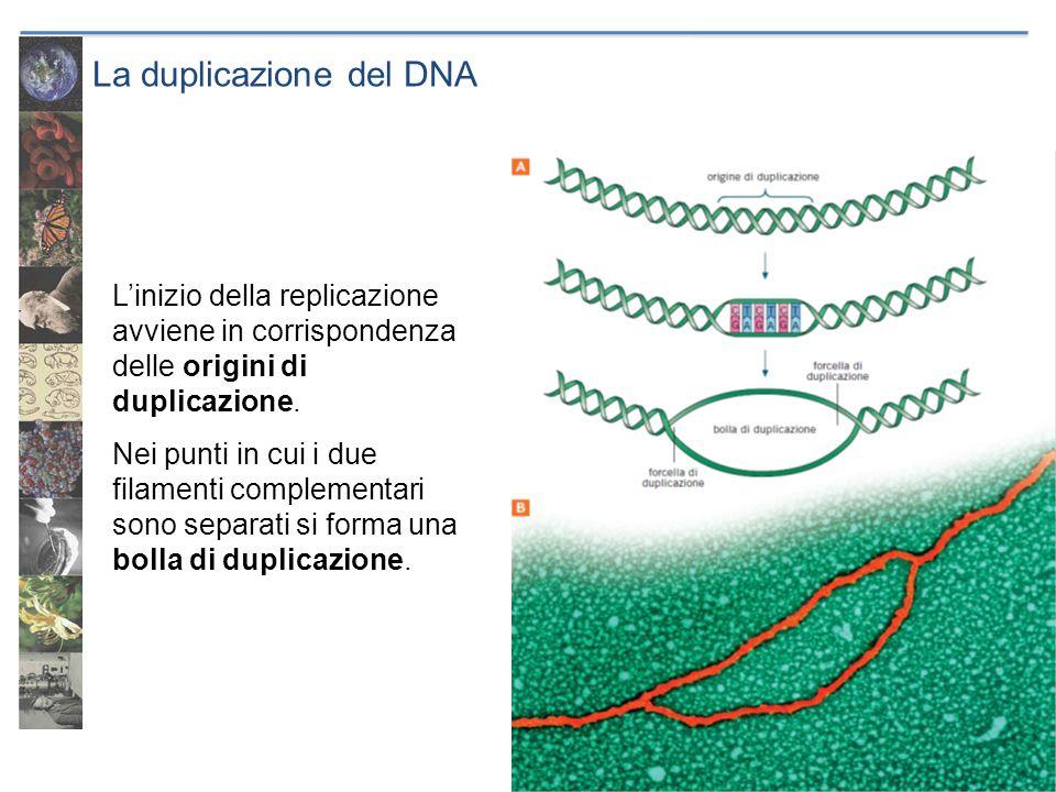 La duplicazione del DNA L'inizio della replicazione avviene in corrispondenza delle origini di duplicazione. Nei punti in cui i due filamenti compleme