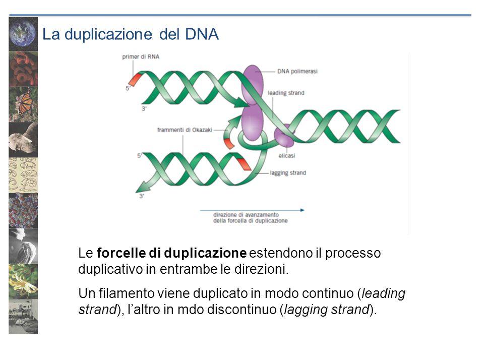 La duplicazione del DNA Le forcelle di duplicazione estendono il processo duplicativo in entrambe le direzioni. Un filamento viene duplicato in modo c