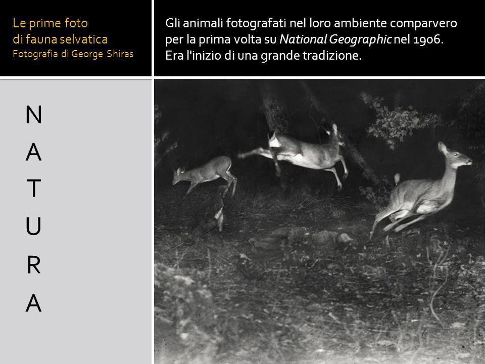 Le prime foto di fauna selvatica Fotografia di George Shiras Gli animali fotografati nel loro ambiente comparvero per la prima volta su National Geogr