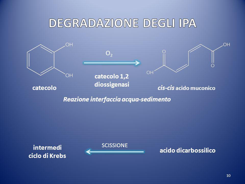 10 catecolocis-cis acido muconico catecolo 1,2 diossigenasi O2O2 acido dicarbossilico intermedi ciclo di Krebs SCISSIONE Reazione interfaccia acqua-se