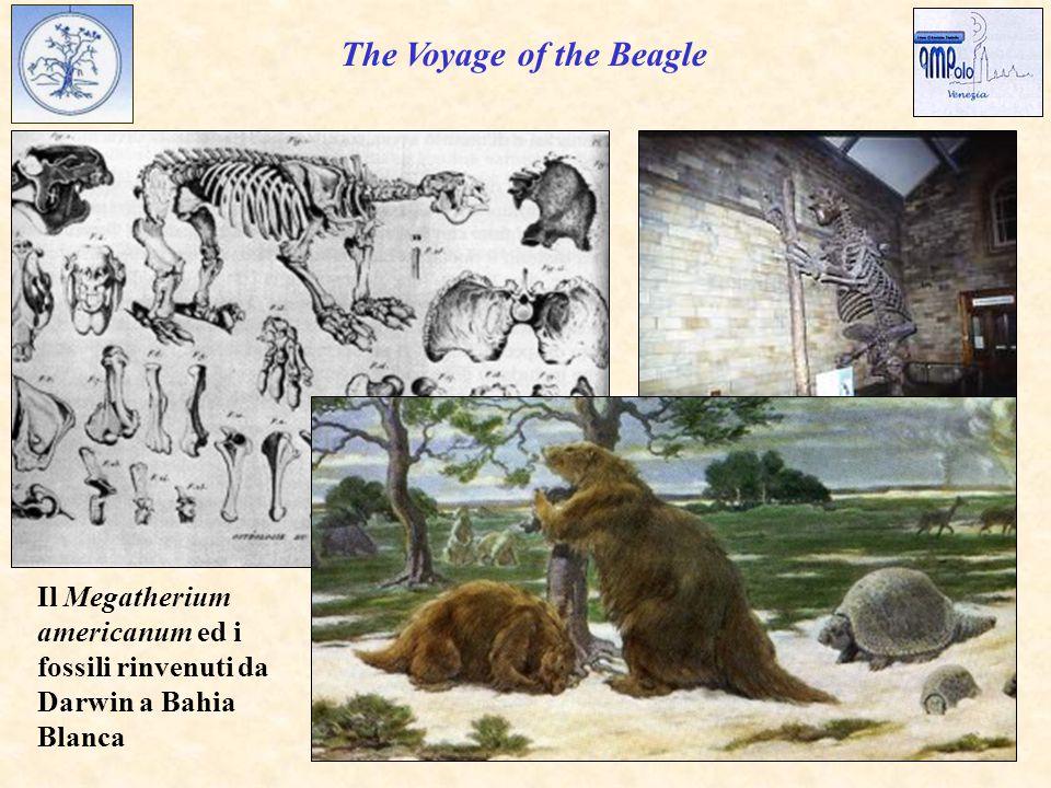 Il Megatherium americanum ed i fossili rinvenuti da Darwin a Bahia Blanca The Voyage of the Beagle