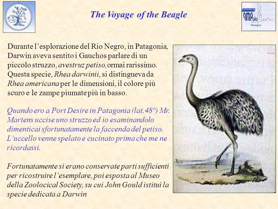 Durante l'esplorazione del Rio Negro, in Patagonia, Darwin aveva sentito i Gauchos parlare di un piccolo struzzo, avestruz petiso,ormai rarissimo.
