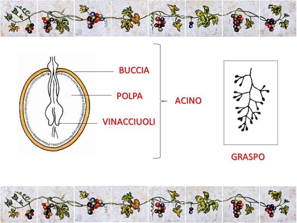 BUCCIA POLPA VINACCIUOLI ACINO GRASPO