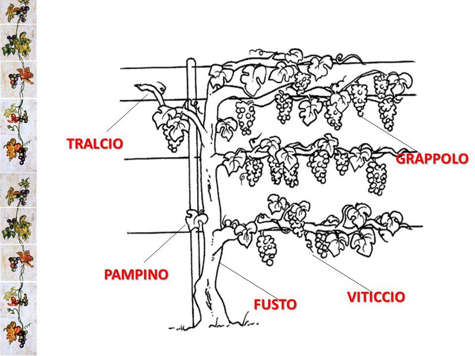 TRALCIO PAMPINO FUSTO VITICCIO GRAPPOLO