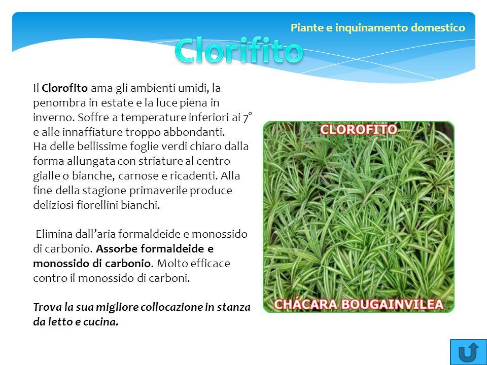 Il Clorofito ama gli ambienti umidi, la penombra in estate e la luce piena in inverno. Soffre a temperature inferiori ai 7° e alle innaffiature troppo