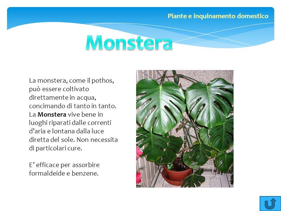 La monstera, come il pothos, può essere coltivato direttamente in acqua, concimando di tanto in tanto. La Monstera vive bene in luoghi riparati dalle