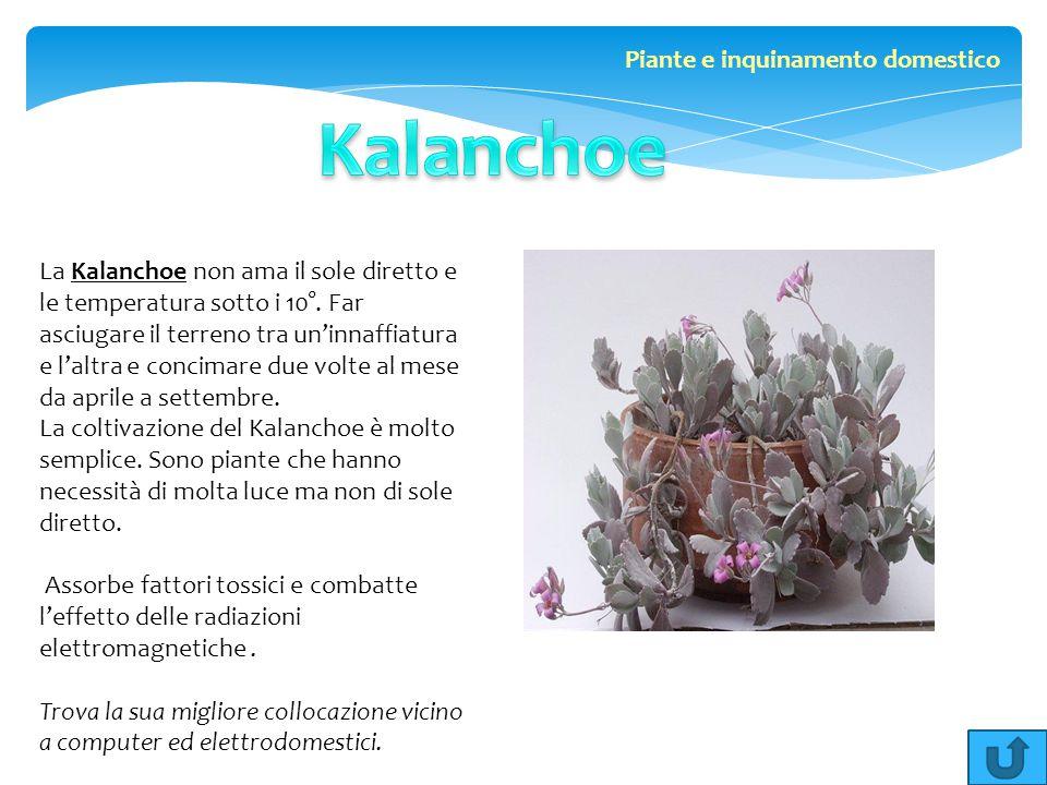 La Kalanchoe non ama il sole diretto e le temperatura sotto i 10°. Far asciugare il terreno tra un'innaffiatura e l'altra e concimare due volte al mes