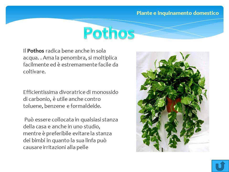 Il Pothos radica bene anche in sola acqua.. Ama la penombra, si moltiplica facilmente ed è estremamente facile da coltivare. Efficientissima divoratri