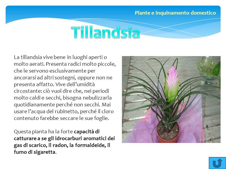 La tillandsia vive bene in luoghi aperti o molto aerati. Presenta radici molto piccole, che le servono esclusivamente per ancorarsi ad altri sostegni,
