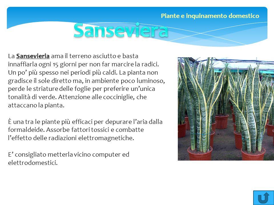 La Sansevieria ama il terreno asciutto e basta innaffiarla ogni 15 giorni per non far marcire la radici. Un po' più spesso nei periodi più caldi. La p