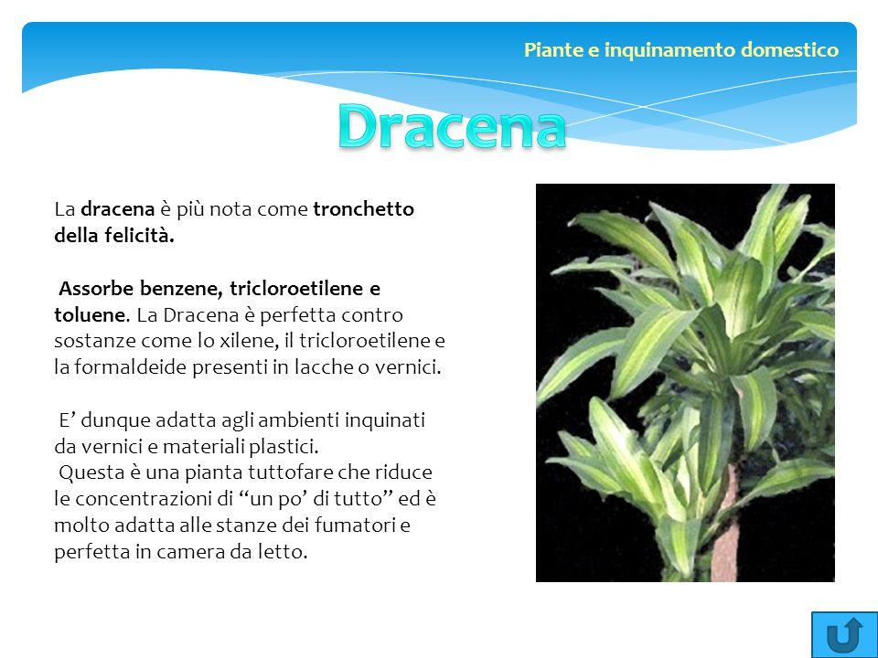 La dracena è più nota come tronchetto della felicità. Assorbe benzene, tricloroetilene e toluene. La Dracena è perfetta contro sostanze come lo xilene