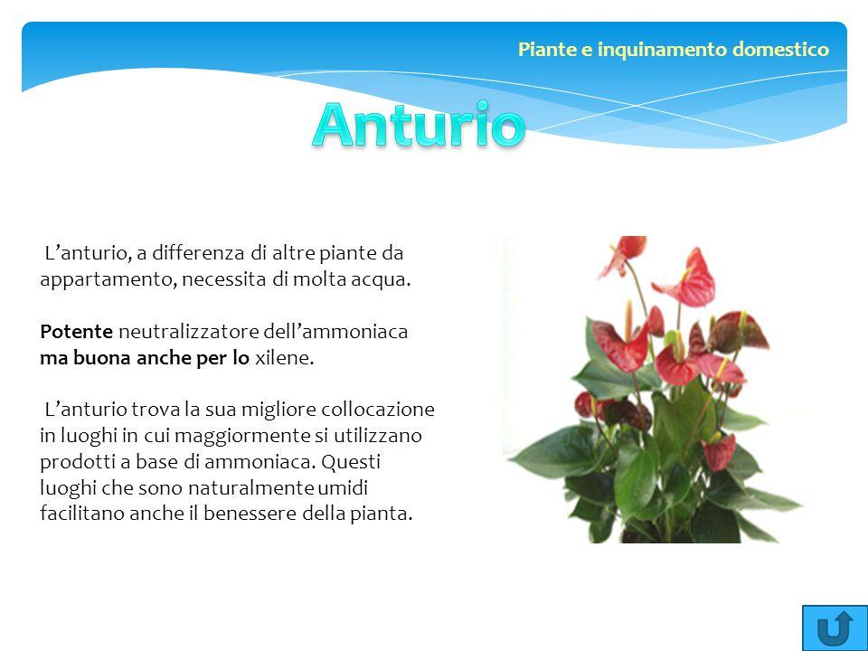 L'anturio, a differenza di altre piante da appartamento, necessita di molta acqua. Potente neutralizzatore dell'ammoniaca ma buona anche per lo xilene