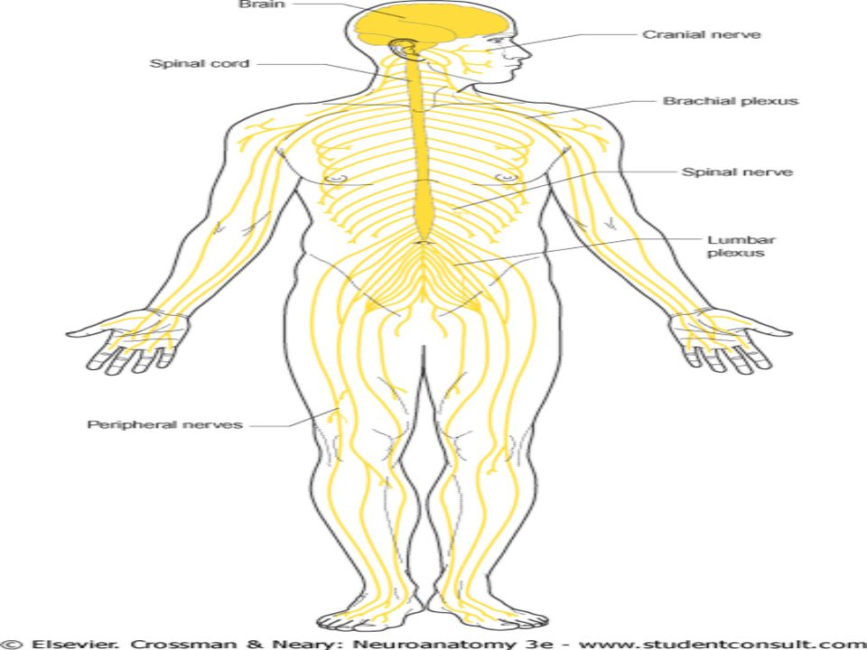 """Il sistema nervoso periferico costituisce il collegamento tra il CNS e le strutture situate alla """"periferia"""" del corpo, dalle quali esso riceve inform"""