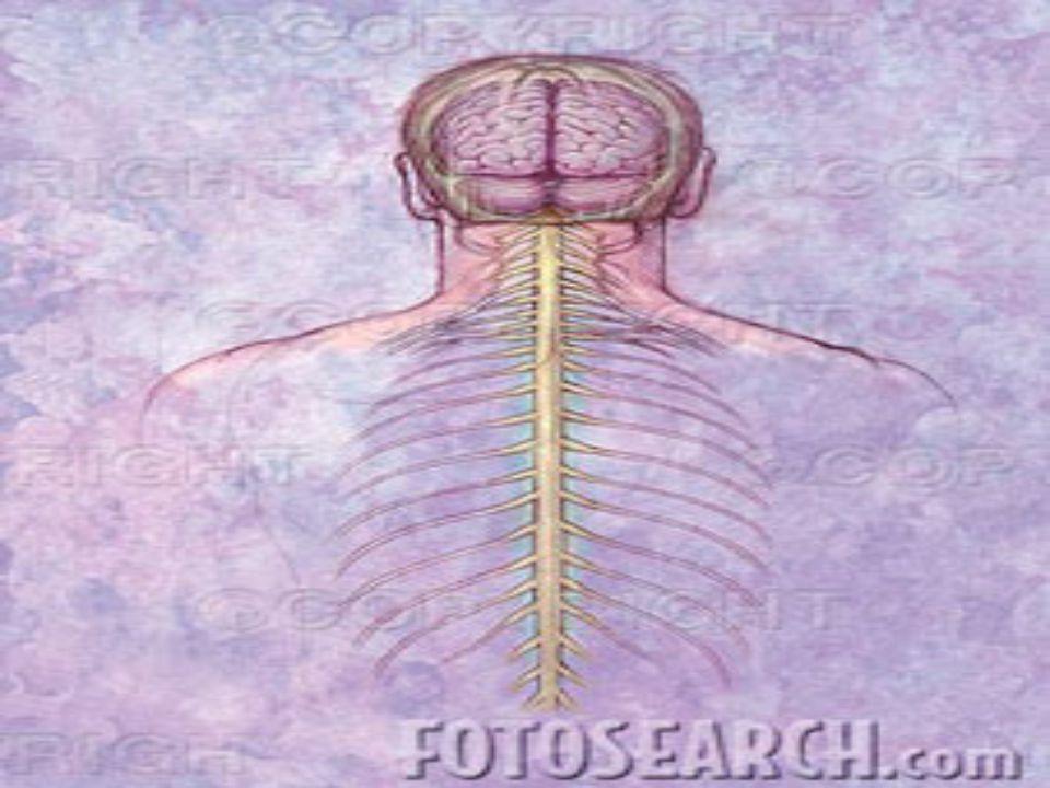 Il sistema nervoso viene arbitrariamente diviso in due componenti: il sistema nervoso centrale (CNS) ed il sistema nervoso periferico (PNS). Il sistem