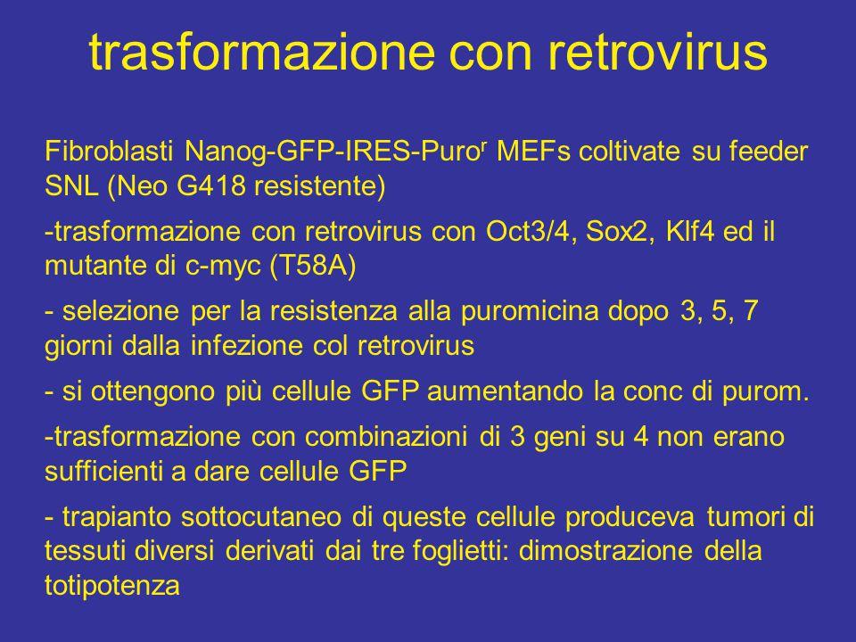 trasformazione con retrovirus Fibroblasti Nanog-GFP-IRES-Puro r MEFs coltivate su feeder SNL (Neo G418 resistente) -trasformazione con retrovirus con Oct3/4, Sox2, Klf4 ed il mutante di c-myc (T58A) - selezione per la resistenza alla puromicina dopo 3, 5, 7 giorni dalla infezione col retrovirus - si ottengono più cellule GFP aumentando la conc di purom.
