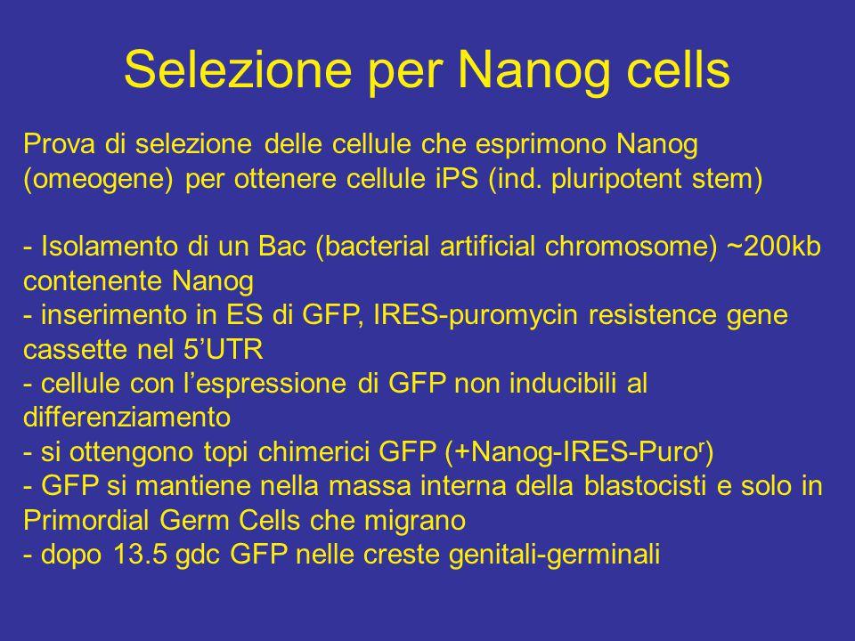 Selezione per Nanog cells Prova di selezione delle cellule che esprimono Nanog (omeogene) per ottenere cellule iPS (ind.