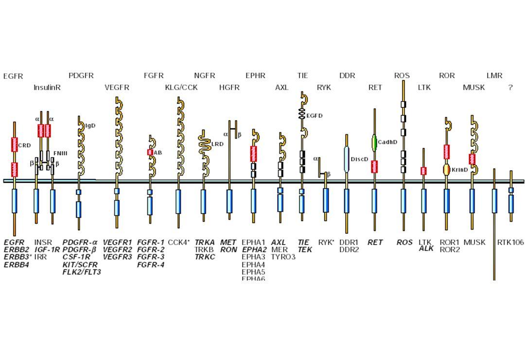 Riarrangiamenti l Spesso conseguenza di traslocazioni cromosomiche (BCR-ABL, NPM-ALK) o di delezioni intracromosomiche (FIP1-PDGFRa) l Meccanismo più frequente nelle neoplasie ematologiche che nei tumori solidi